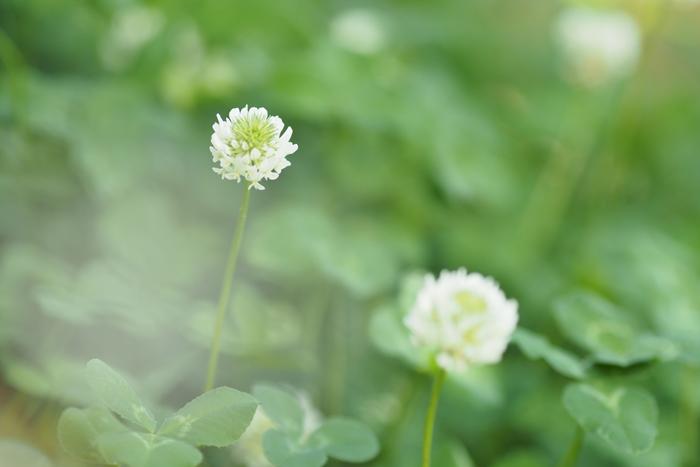 庭に咲いたクローバー