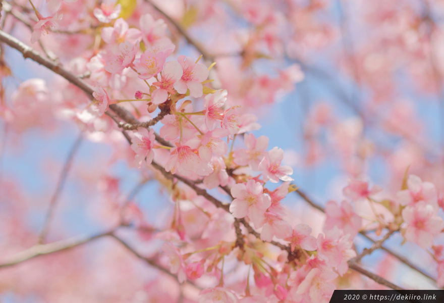 2020年3月23日撮影 駐車場側の桜