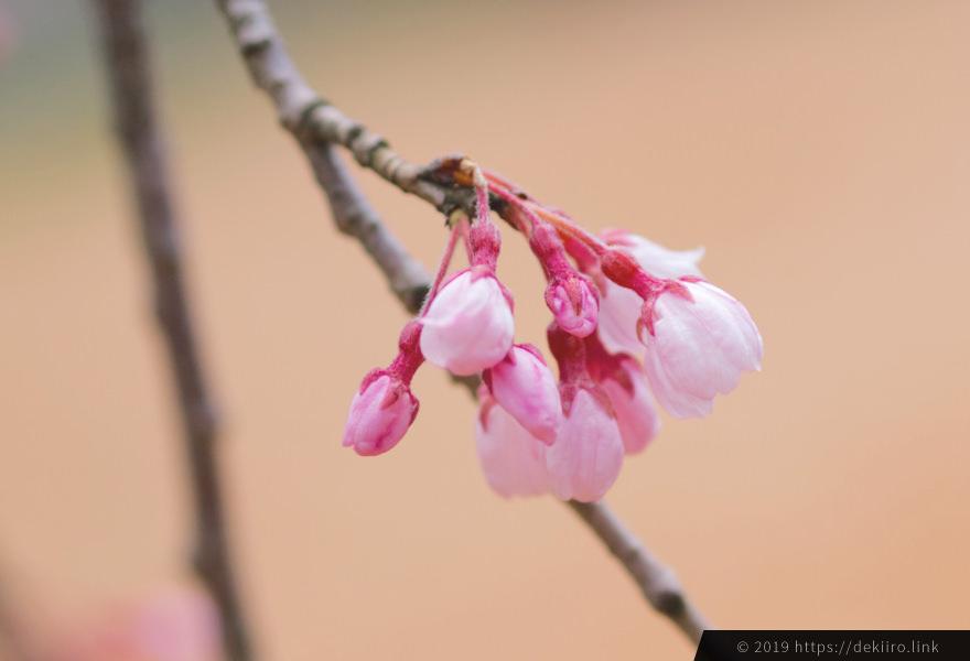 しだれ桜のつぼみ 古永建設 (2019年4月)