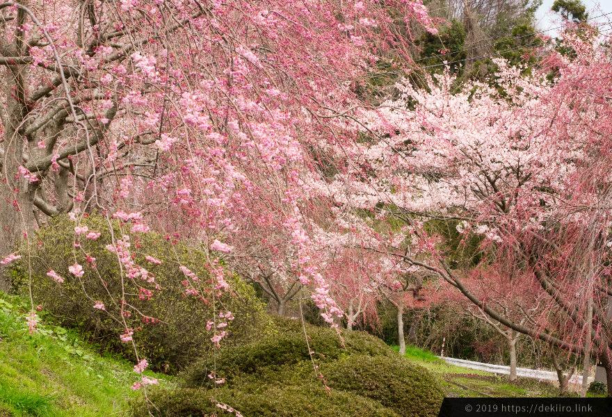 古永建設のしだれ桜園 (2019年4月)