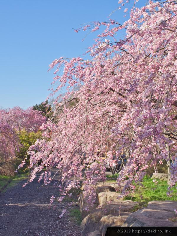 羽咋市千路町「古永建設」のしだれ桜が満開 (2019年4月16日撮影)