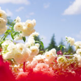 金沢・富樫バラ園 (金沢南総合運動公園) で芳醇な香りに包まれる。