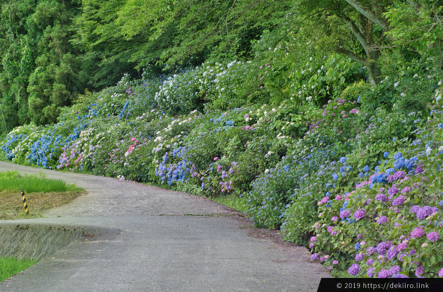 お寺横にある土手側の紫陽花