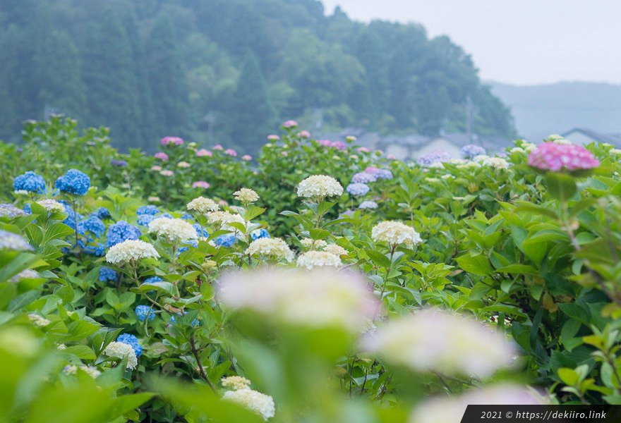 2021年6月17日撮影 本興寺の紫陽花