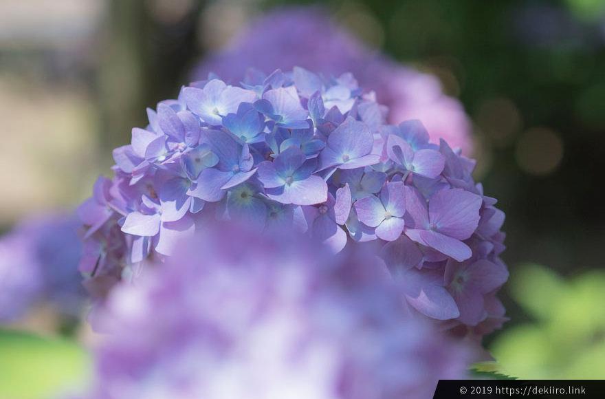 普通の紫陽花もかわいい。