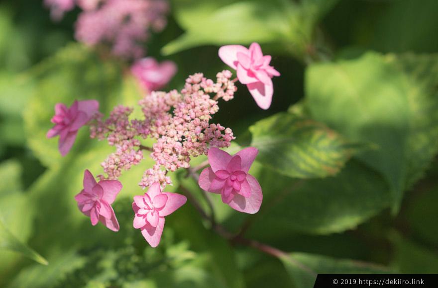 mountain hydrangea pink