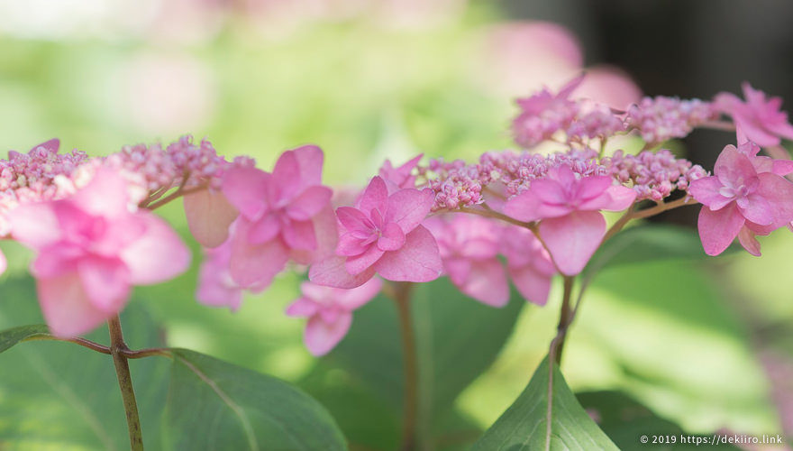 志賀町のあじさい寺「遍行寺 (へんぎょうじ)」で山紫陽花を満喫