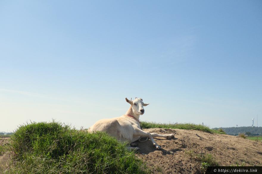 ホリ牧場のヤギ、ゆきちゃん。